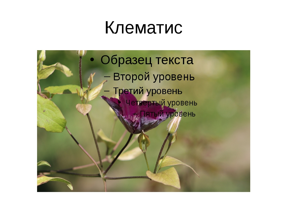 Клематис