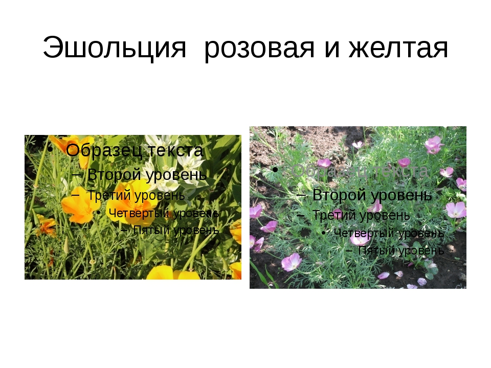 Эшольция розовая и желтая