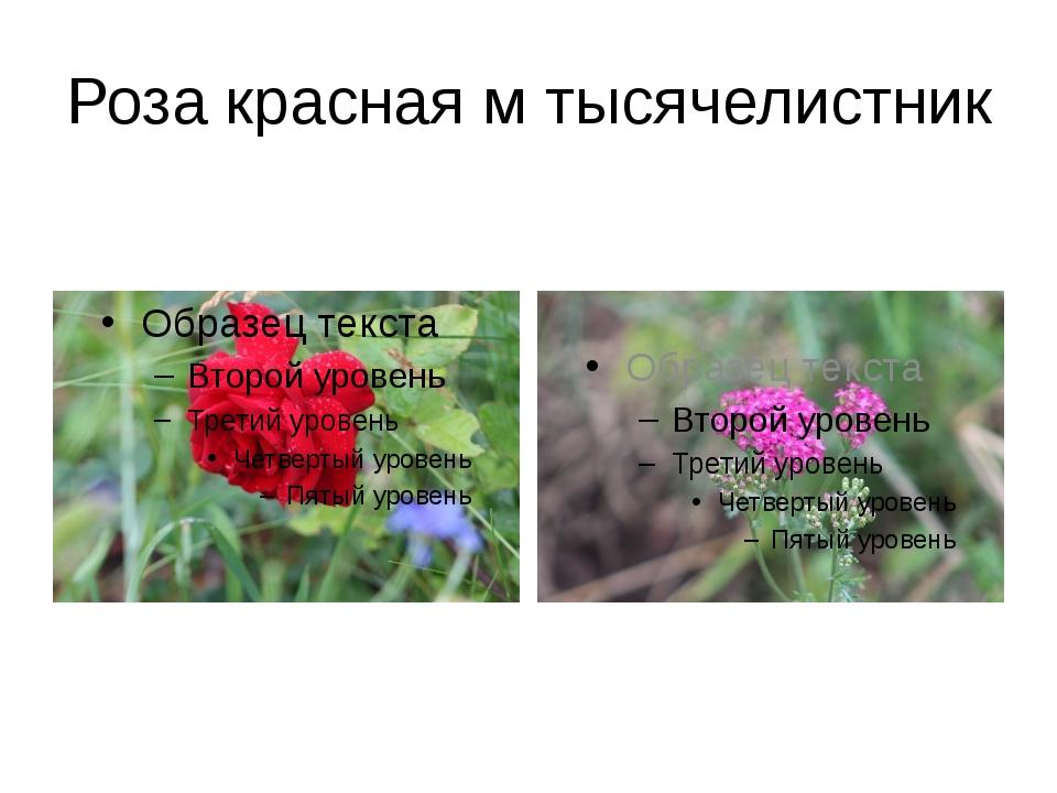 Роза красная м тысячелистник