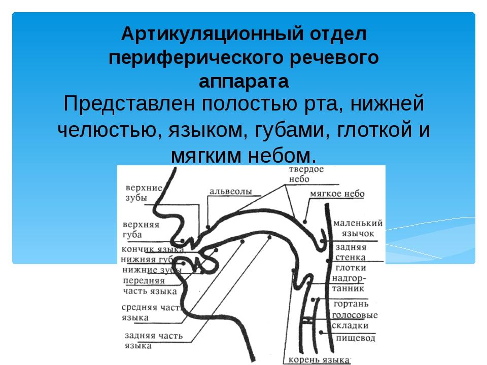 Представлен полостью pтa, нижнeй челюстью, языком, губами, глоткой и мягким н...