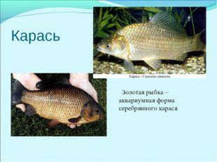 Карась Золо Золотая рыбка –аквариумная форма серебрянного карася