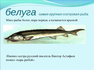 белуга самая крупная осетровая рыба Мясо рыбы белое, икра черная, а называет