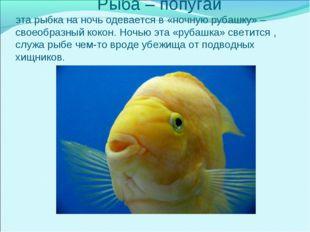 Рыба – попугай эта рыбка на ночь одевается в «ночную рубашку» – своеобразный