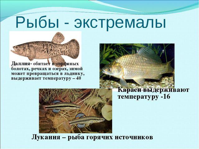 Рыбы - экстремалы Караси выдерживают температуру -16 Даллия- обитает в торфян...