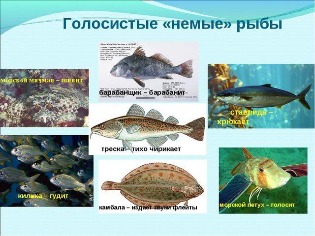 Голосистые «немые» рыбы морской мичман – шипит морской петух – голосит ставр...