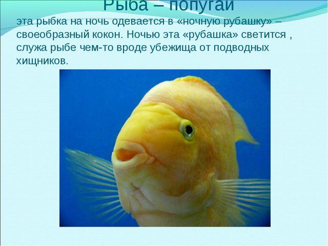 Рыба – попугай эта рыбка на ночь одевается в «ночную рубашку» – своеобразный...