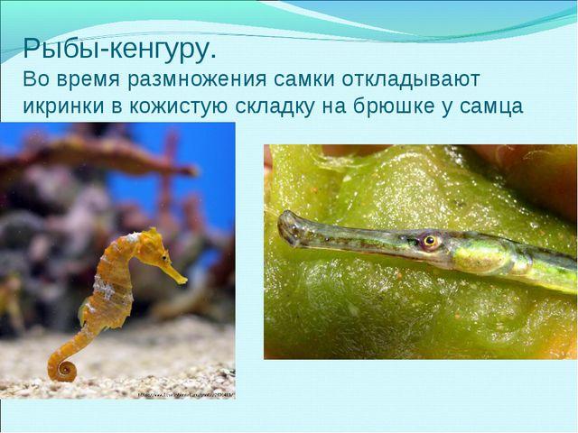 Рыбы-кенгуру. Во время размножения самки откладывают икринки в кожистую склад...