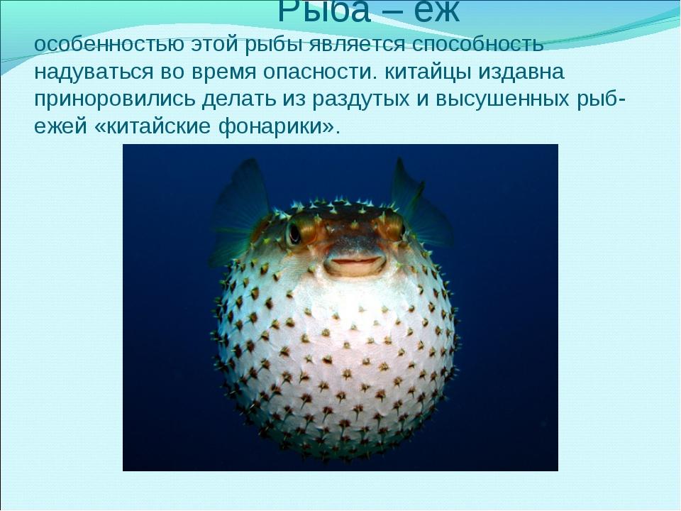 Рыба – еж особенностью этой рыбы является способность надуваться во время оп...