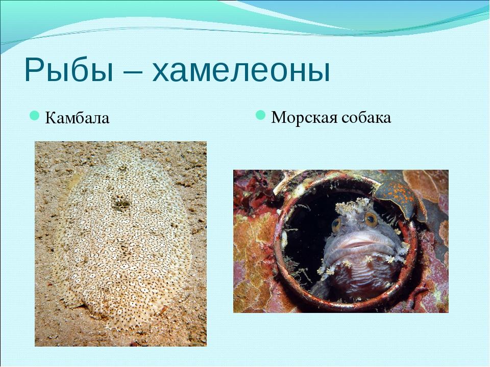 Рыбы – хамелеоны Камбала Морская собака
