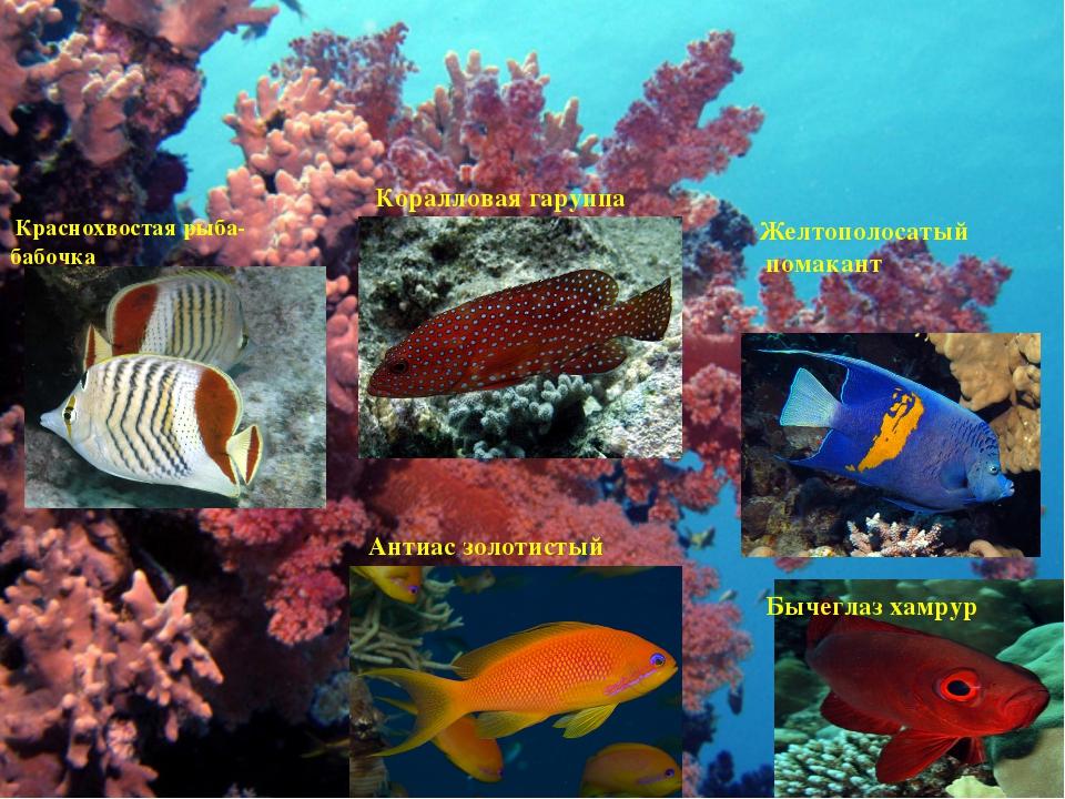 Коралловые рыбки Краснохвостая рыба-бабочка Коралловая гаруппа Желтополосатый...