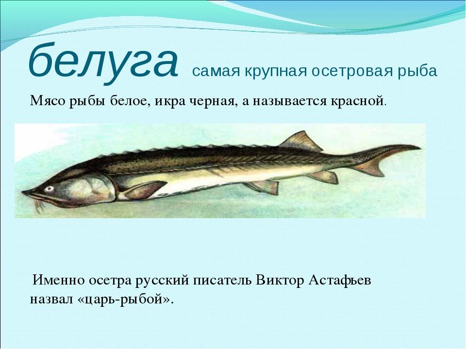 белуга самая крупная осетровая рыба Мясо рыбы белое, икра черная, а называет...