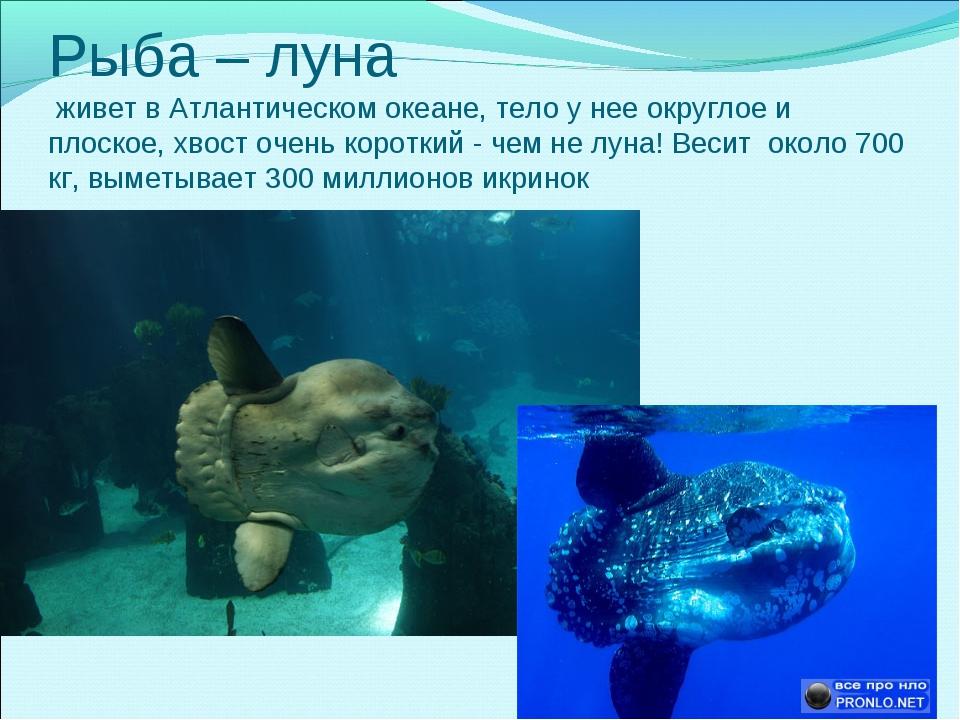 Рыба – луна живет в Атлантическом океане, тело у нее округлое и плоское, хвос...