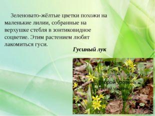 Гусиный лук Зеленовато-жёлтые цветки похожи на маленькие лилии, собранные на