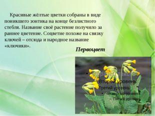 Первоцвет Красивые жёлтые цветки собраны в виде поникшего зонтика на конце бе