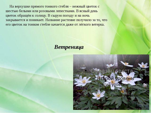 Ветреница На верхушке прямого тонкого стебля – нежный цветок с шестью белыми...