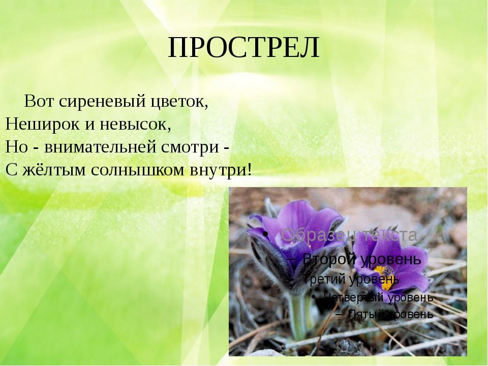 ПРОСТРЕЛ Вот сиреневый цветок, Неширок и невысок, Но - внимательней смотри -...