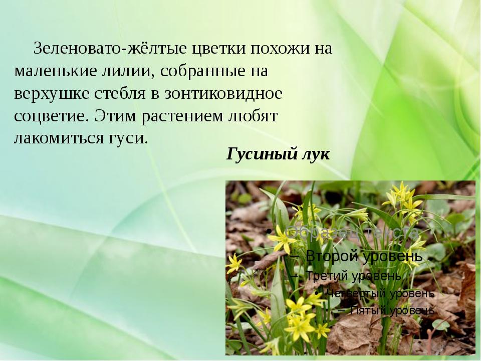 Гусиный лук Зеленовато-жёлтые цветки похожи на маленькие лилии, собранные на...