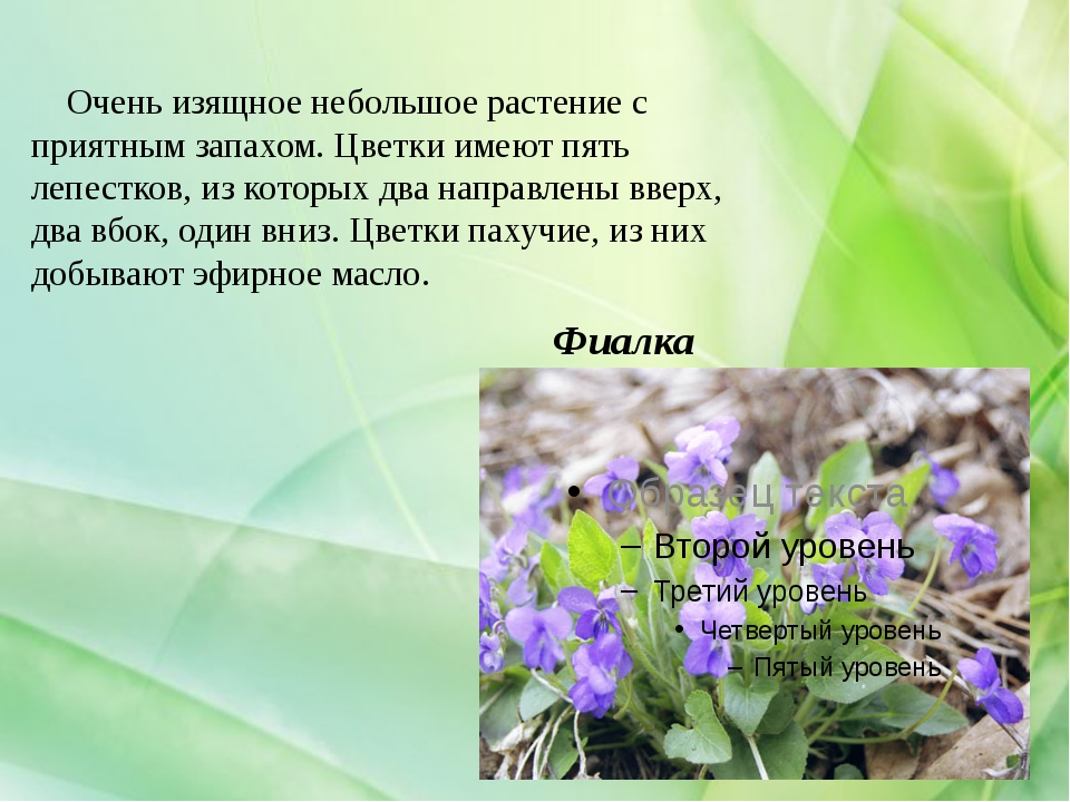 Фиалка Очень изящное небольшое растение с приятным запахом. Цветки имеют пять...