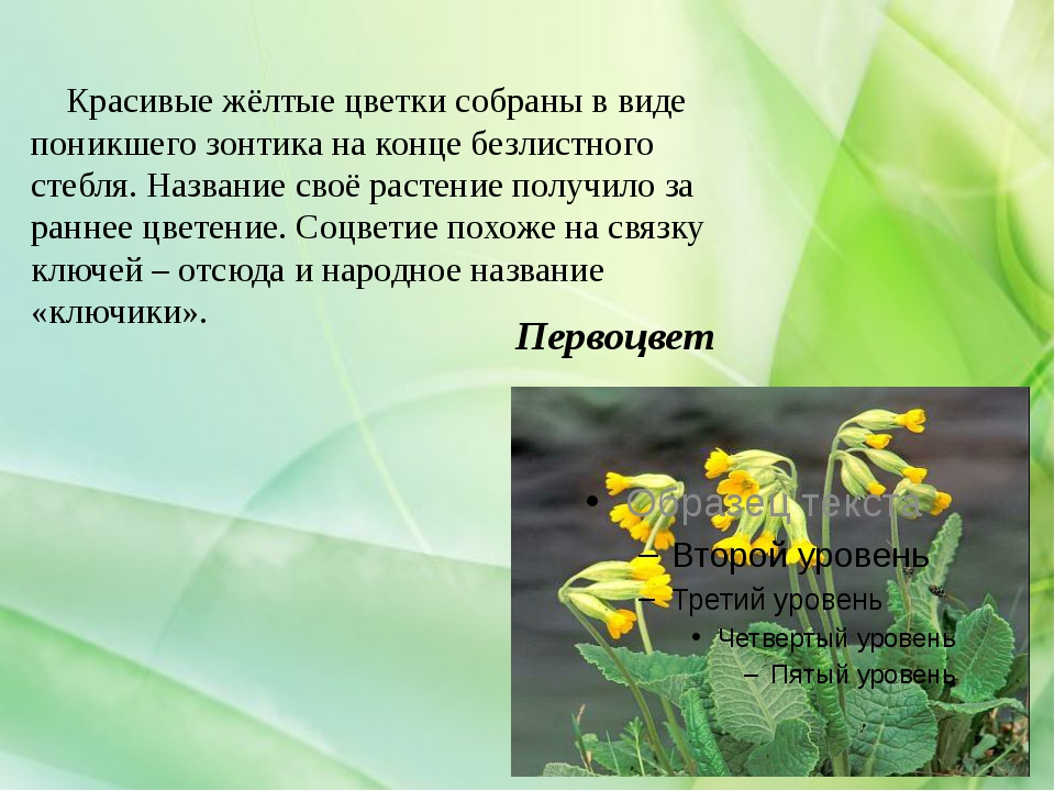 Первоцвет Красивые жёлтые цветки собраны в виде поникшего зонтика на конце бе...