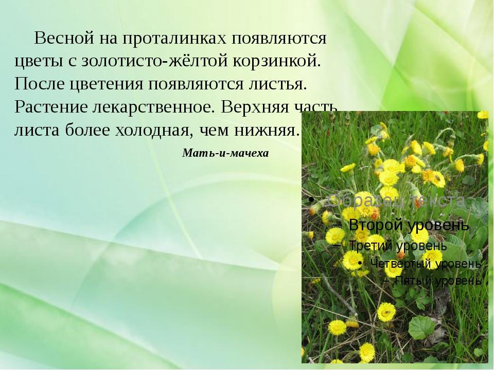 Мать-и-мачеха Весной на проталинках появляются цветы с золотисто-жёлтой корзи...