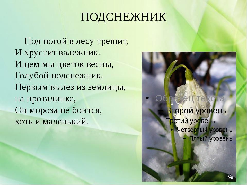 ПОДСНЕЖНИК Под ногой в лесу трещит, И хрустит валежник. Ищем мы цветок весны,...