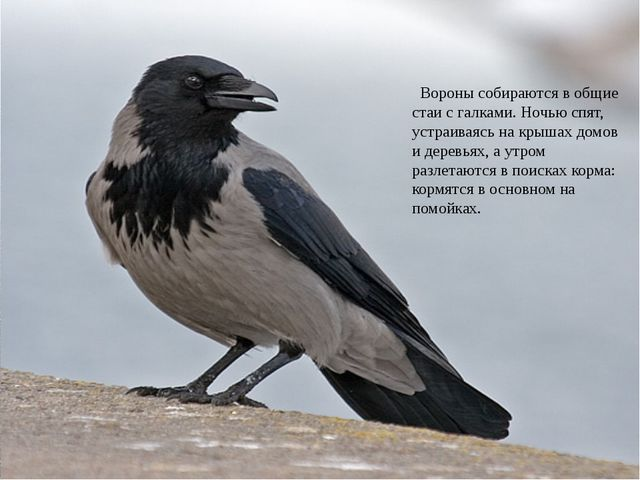 Носит серенький жилет, Но у крыльев – черный цвет. Видишь, кружат двадцать п...