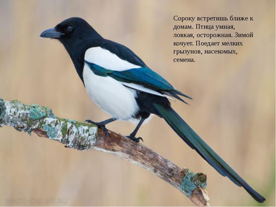 Непоседа пёстрая, Птица длиннохвостая, Птица говорливая, Самая болтливая … с...