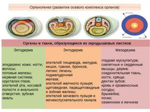 Органогенез (развитие осевого комплекса органов) Органы и ткани, образующиеся