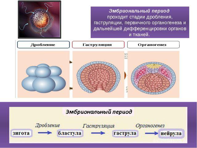 Эмбриональный период проходит стадии дробления, гаструляции, первичного орга...