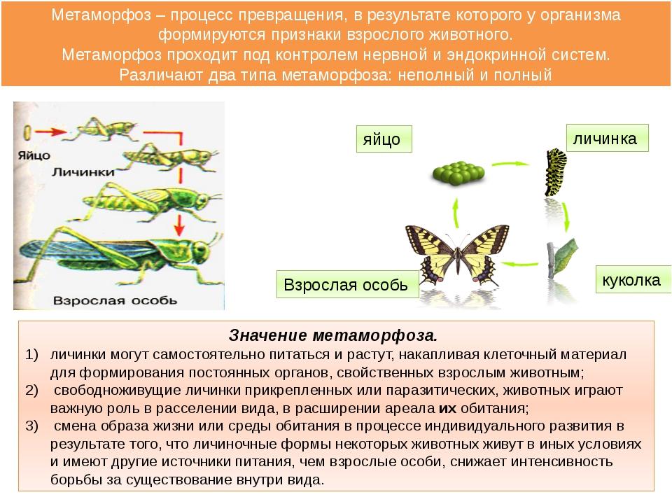 Значение метаморфоза. личинки могут самостоятельно питаться и растут, накапли...