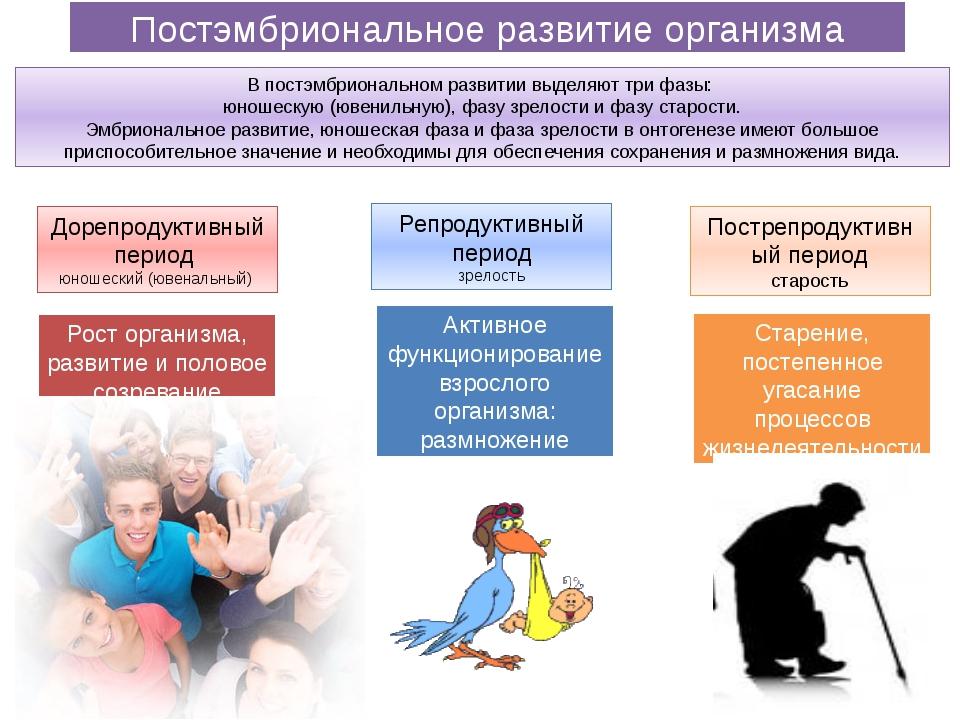 Постэмбриональное развитие организма Дорепродуктивный период юношеский (ювена...