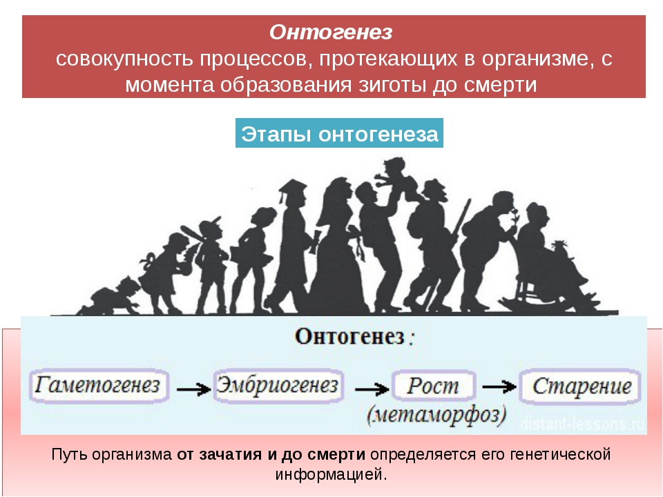 Этапы онтогенеза Онтогенез совокупность процессов, протекающих в организме,...