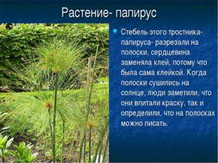 Растение- папирус Стебель этого тростника- папируса- разрезали на полоски, се