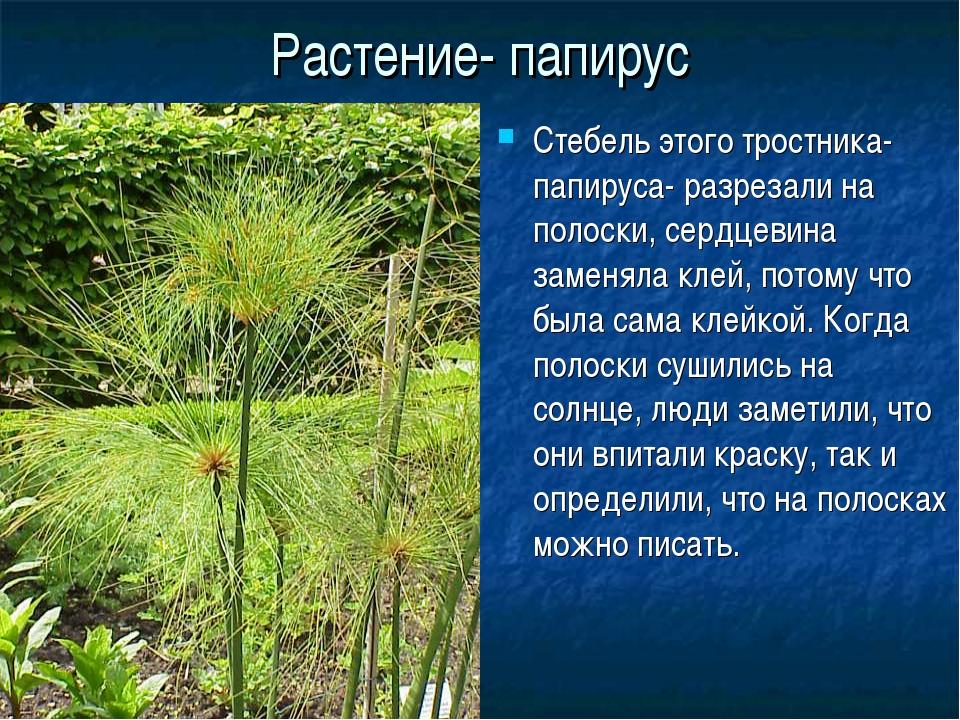Растение- папирус Стебель этого тростника- папируса- разрезали на полоски, се...