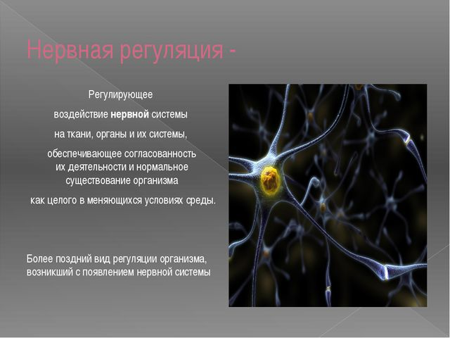 Нервная регуляция - Регулирующее воздействиенервнойсистемы наткани, органы...