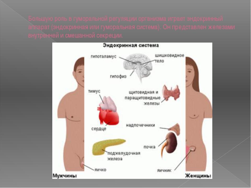 Большую роль в гуморальной регуляции организма играет эндокринный аппарат (эн...