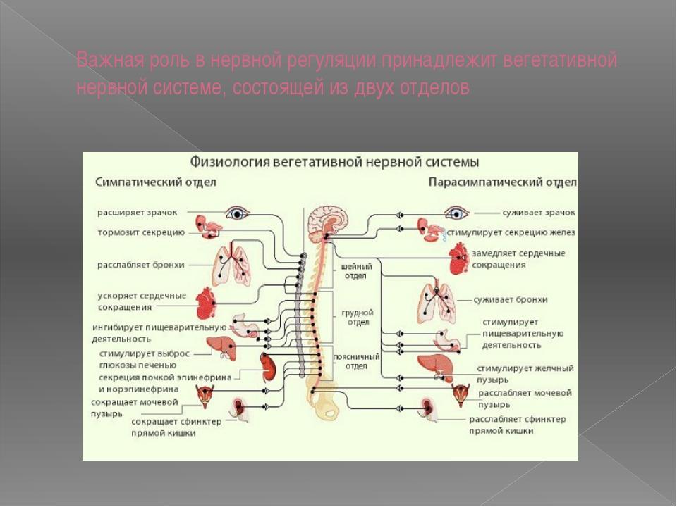 Важная роль в нервной регуляции принадлежит вегетативной нервной системе, сос...