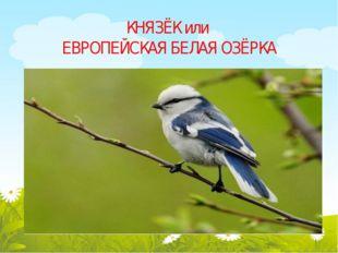 КНЯЗЁК или ЕВРОПЕЙСКАЯ БЕЛАЯ ОЗЁРКА