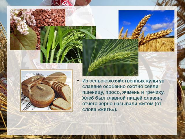 Из сельскохозяйственных культур славяне особенно охотно сеяли пшеницу, про...