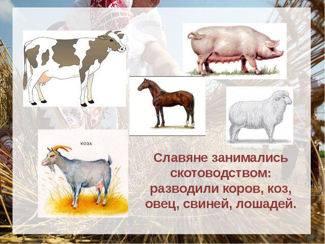 Славяне занимались скотоводством: разводили коров, коз, овец, свиней, лоша...