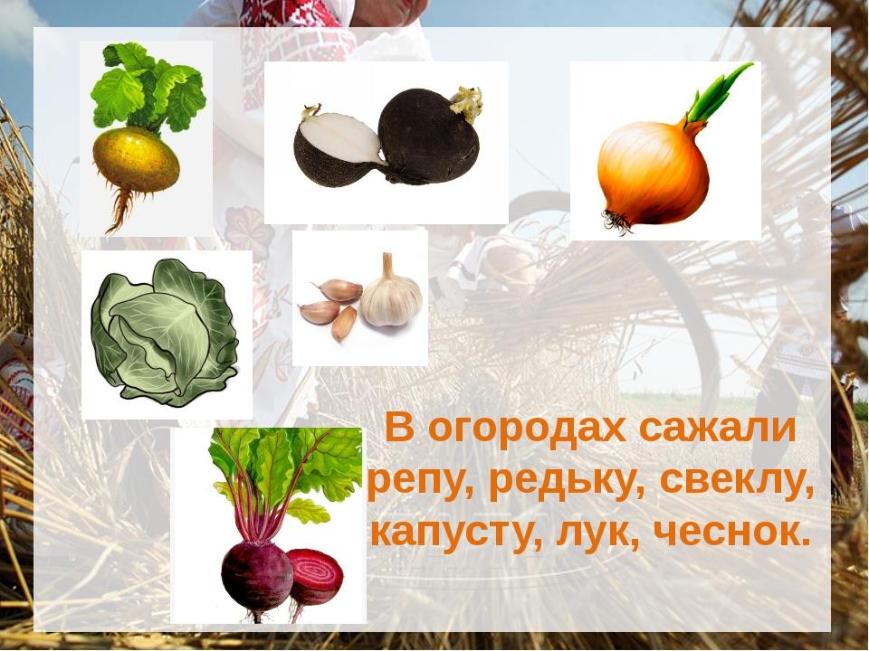 В огородах сажали репу, редьку, свеклу, капусту, лук, чеснок.