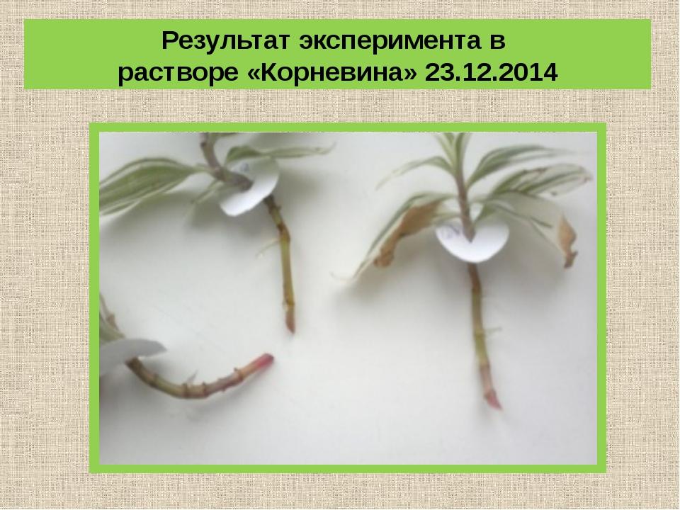 Результат эксперимента в растворе «Корневина» 23.12.2014