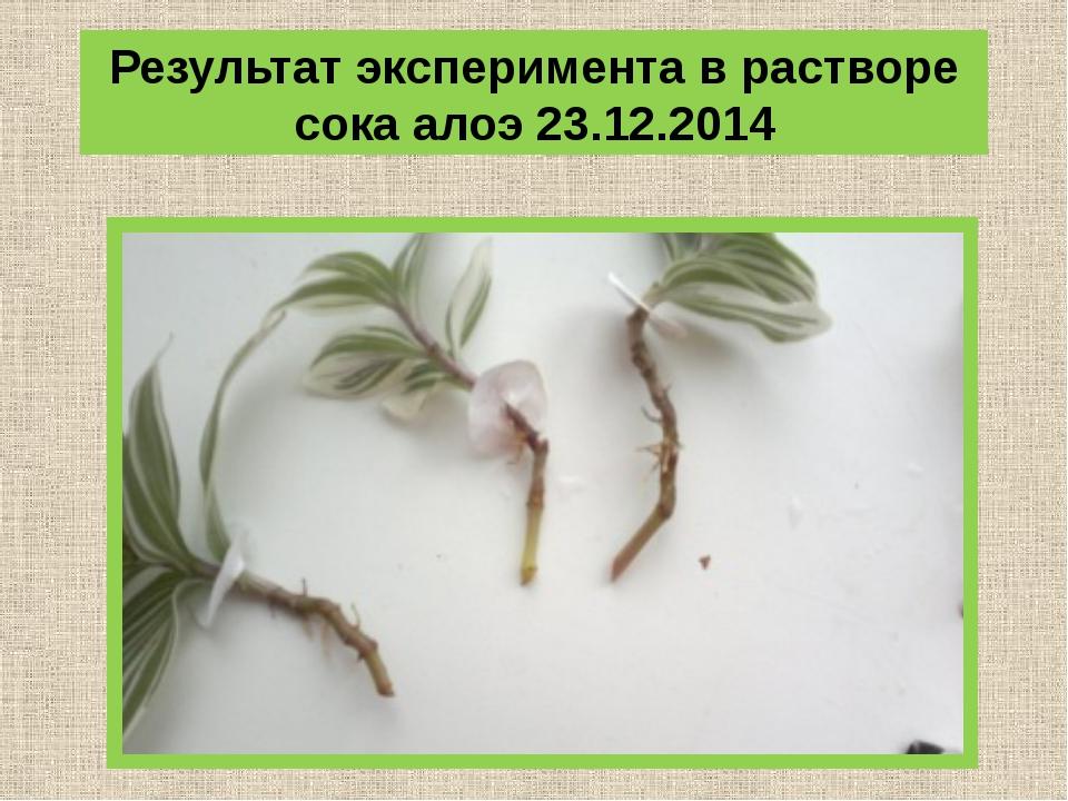 Результат эксперимента в растворе сока алоэ 23.12.2014