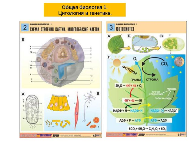 Общая биология 1. Цитология и генетика.