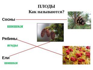 ПЛОДЫ Как называются? Сосны Рябины Ели шишки ягоды шишки