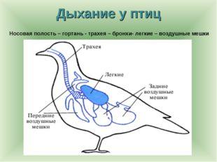 Дыхание у птиц Носовая полость – гортань - трахея – бронхи- легкие – воздушны