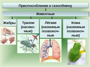 Жабры Трахеи (насеко-мые) Лёгкие (наземные позвоноч-ные Кожа (наземные позвон