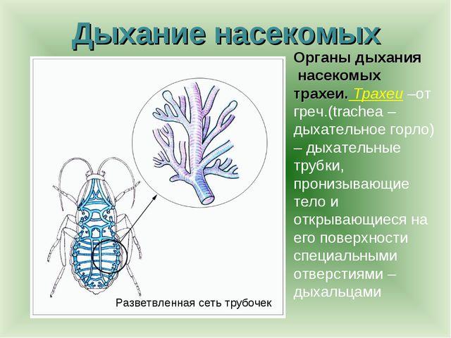 Дыхание насекомых Органы дыхания насекомых трахеи. Трахеи –от греч.(trachea –...