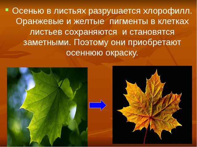 Осенью в листьях разрушается хлорофилл. Оранжевые и желтые пигменты в клетка...