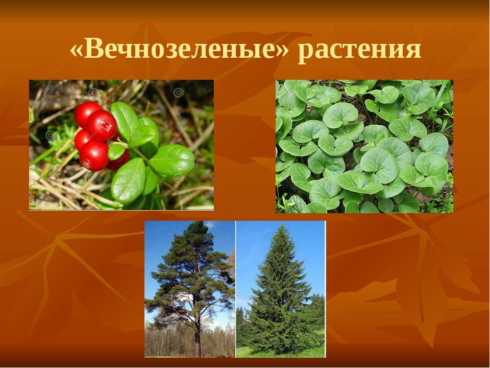 «Вечнозеленые» растения